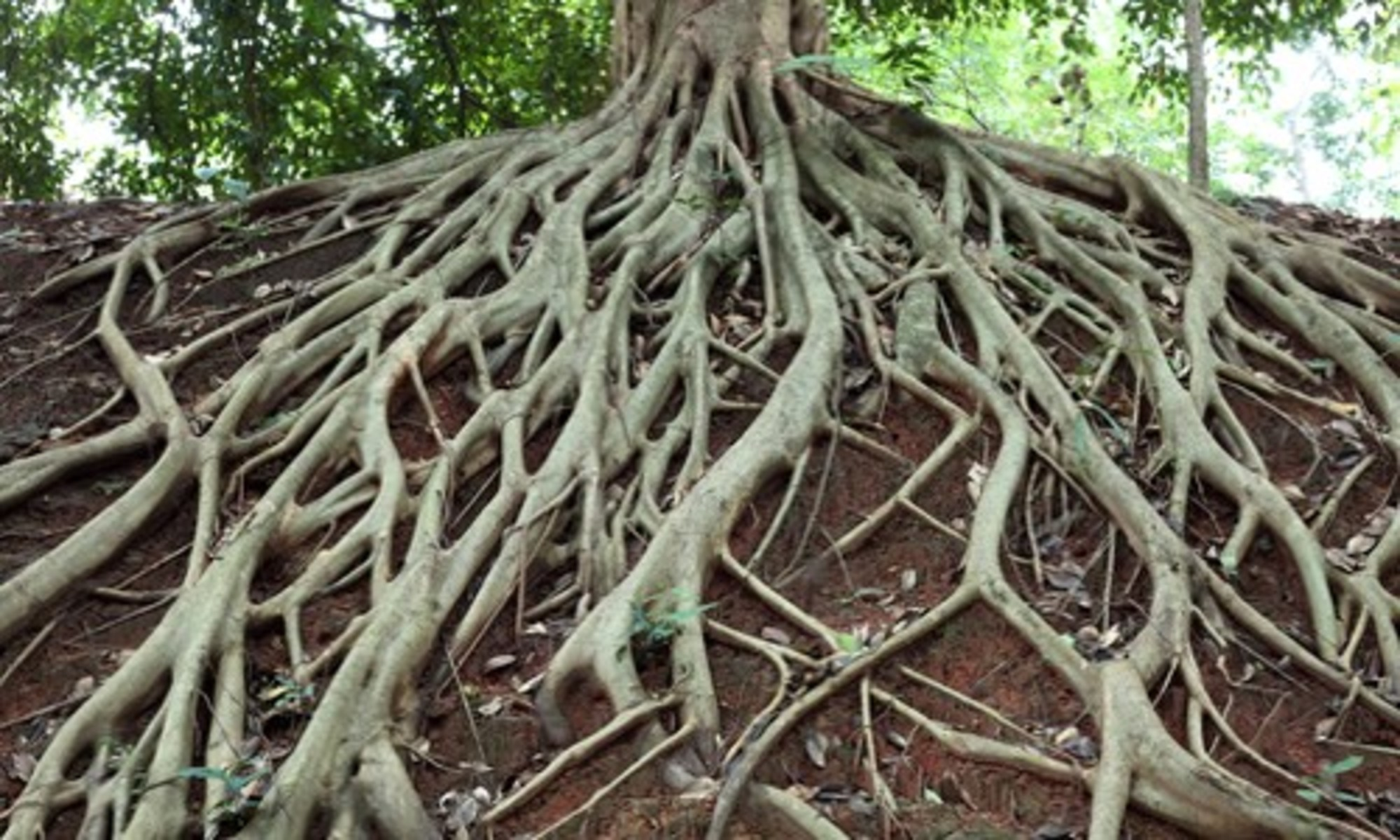 How to Root Trees